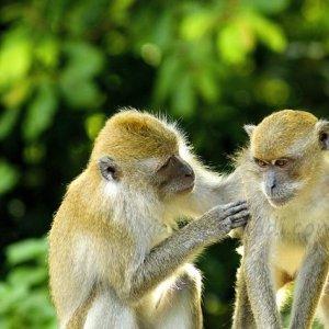 Monos en Bali