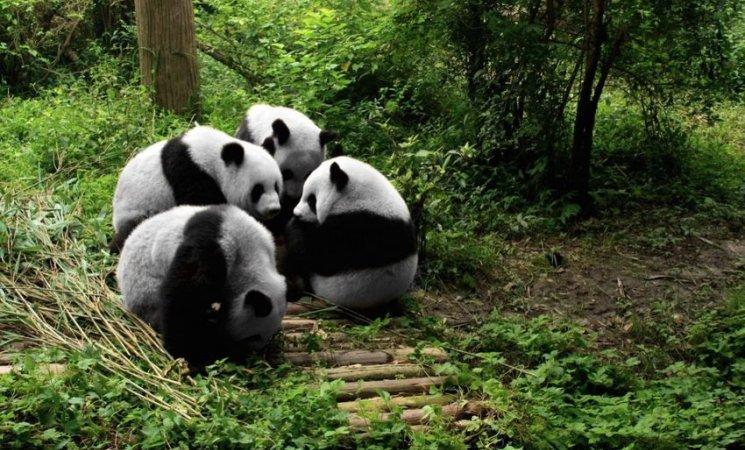 Reserva de osos pandas