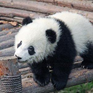 Oso panda en la reserva de Chengdú