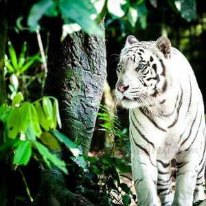 Tigre del zoo de Singapur